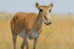野生母Saiga羚羊在卡尔梅克共和国干草原 免版税库存图片