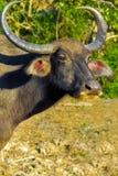 野生水牛画象  库存图片