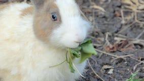 野生泰国兔子本质上