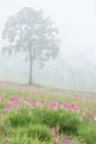 野生泰国郁金香开花的领域 免版税库存图片