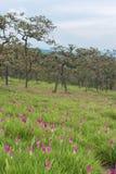 野生泰国郁金香开花的领域 免版税图库摄影