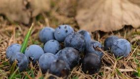 野生浆果在森林里 免版税库存图片