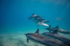 野生海豚水下在深蓝色海洋 免版税库存照片