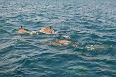 野生海豚浅滩在印度洋,马尔代夫游泳 库存图片