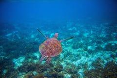 野生海龟在海水游泳 绿浪乌龟特写镜头 热带珊瑚礁野生生物  免版税库存照片