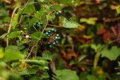 野生深蓝莓果,生长在灌木, 免版税库存照片
