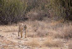 野生漫步的老虎 图库摄影
