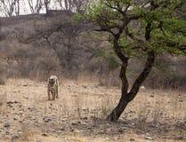 野生漫步的老虎 免版税图库摄影