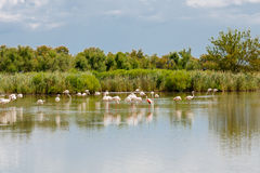 野生火鸟鸟在湖在法国, Camargue,普罗旺斯 免版税库存图片