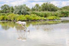 野生火鸟鸟在湖在法国, Camargue,普罗旺斯 免版税图库摄影