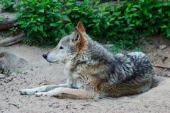 野生灰狼 免版税图库摄影