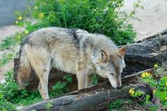 野生灰狼 库存图片