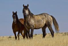 野生灰色公马和母马 库存图片