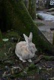 野生灰色愚钝的兔子在森林在秋天 免版税库存图片