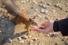 野生灰鼠从人` s手被喂养 免版税库存照片