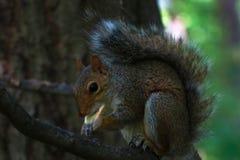 野生灰鼠在花园大概纽约 免版税库存图片