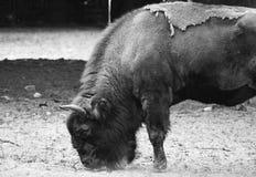 野生牛 免版税库存图片