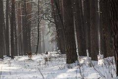 野生狍在积雪的冬天森林里,储备Kyiv地区,乌克兰 免版税库存图片