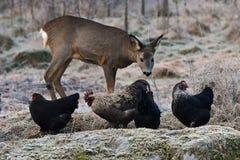 野生狍来了到在土地结冰的秋天的农厂的自由放养的鸡 图库摄影