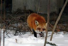 野生狐狸在公园 免版税图库摄影