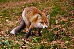 野生狐狸 库存图片