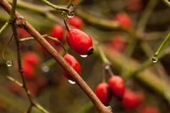 野生狗玫瑰莓果与小滴的 库存照片