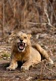 野生狮子 图库摄影