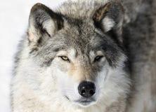 野生狼的面孔 免版税图库摄影