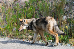 野生狼 库存图片