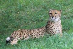 野生猎豹 库存图片