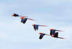 野生猩红色金刚鹦鹉群, corcovado,哥斯达黎加 库存图片