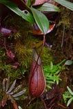 野生猪笼草& x28; 捕虫草或猴子cups& x29;找到沿供徒步旅行的小道登上亚庇峰顶,沙巴,马来西亚 免版税库存图片