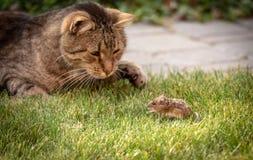野生猫使用与在绿草的被夺取的老鼠 库存图片