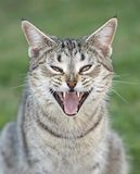 野生猫在澳洲内地昆士兰 免版税图库摄影