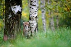 野生猫天猫座在自然森林栖所 欧亚天猫座在森林里,掩藏在树后 坐在草的天猫座 逗人喜爱 免版税库存图片