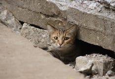 野生猫掩藏了在路的瓦片下 免版税库存图片