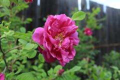 野生玫瑰在庭院里增长 免版税库存图片