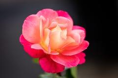 野生玫瑰在庭院里 库存照片