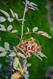 野生玫瑰果子在一个长的分支的 免版税库存照片
