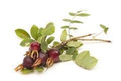 野生玫瑰色浆果 免版税库存照片