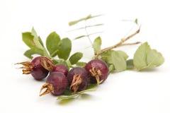 野生玫瑰色浆果 库存图片