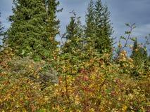 野生玫瑰色莓果灌木 免版税库存照片