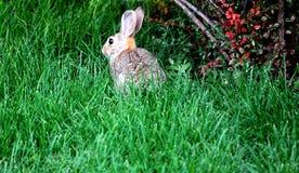 野生生物兔子 图库摄影