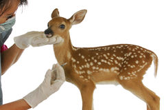 野生生物兽医关心 库存图片