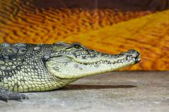 野生生物动物-狂放的爬行动物鳄鱼嘴和牙 在外形休息的鳄鱼头 免版税图库摄影