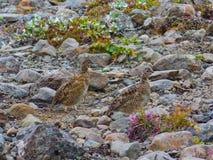 野生生物在冰岛 免版税库存图片