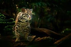 野生生物在哥斯达黎加 好的在分支的猫margay开会在豹猫,好的c哥斯达黎加的热带森林细节画象  库存图片