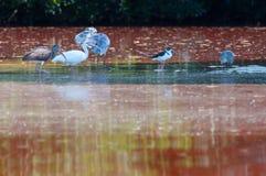 野生生物在墨西哥-盐水湖鸟 图库摄影