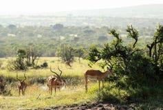 野生生物在马赛马拉,肯尼亚 免版税库存照片