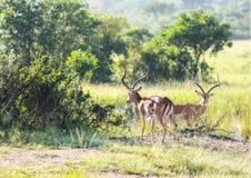 野生生物在马赛马拉,肯尼亚 库存图片